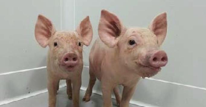 돼지.png