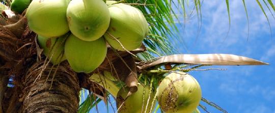코코넛.jpg